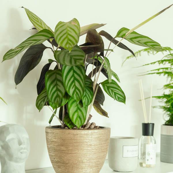 Buy Calathea Warscewiczii, Goeppertia warszewiczii , online - Nursery Nisarga