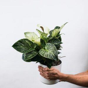 Buy Philodendron Birkin