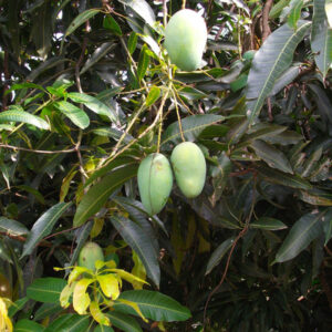 Buy Thai Mango, 12 month fruiting - online - Nursery Nisarga