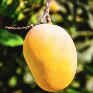 Buy Badam Mango plant -online - Nursery Nisarga