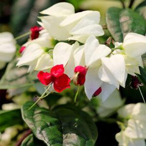 Buy Bleeding heart vine - online Nursery Nisarga