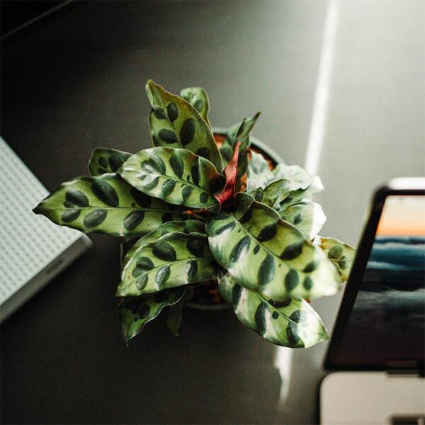 Buy Calathea-lancifolia online - Nursery Nisarga