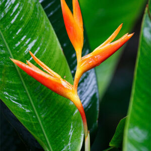 Buy Heliconia lady diana, Heliconia Psittacorum - Nursery Nisarga