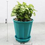 Buy Mini Syngonium , 'Mini Pixie' - Nursery Nisarga