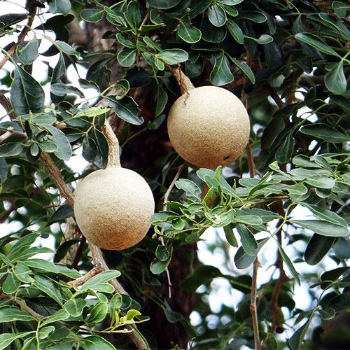 Buy Wood Apple Fruit - Nursery Nisarga