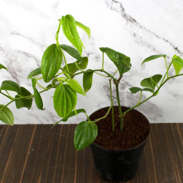 Buy Black Pepper Plant, Kali Mirch , online - Nursery Nisarga