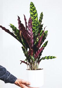 Buy Calathea Rattlesnake, Calathea lancifolia online - Nursery Nisarga,