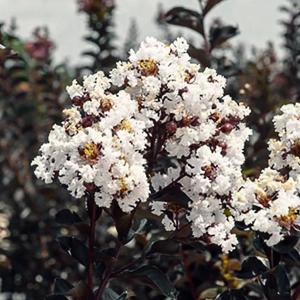 Buy Lunar Black Diamond Crape Myrtle (White) - Lagerstroemia Plant - online - Nursery Nisarga