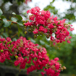 Buy Radiant Red Crape Myrtle - Lagerstroemia Plant - online - Nursery Nisarga