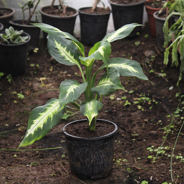 "Buy Dieffenbachia Dumbcane ""Leopard lily"" - online - Nursery Nisarga"
