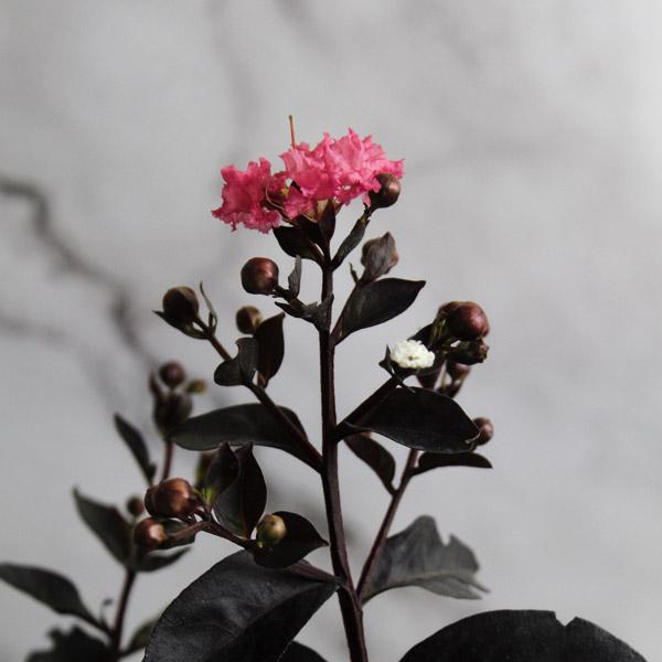 Buy Pink Pearl Black Diamond Crape Myrtle - Lagerstroemia Plant - online - Nursery Nisarga