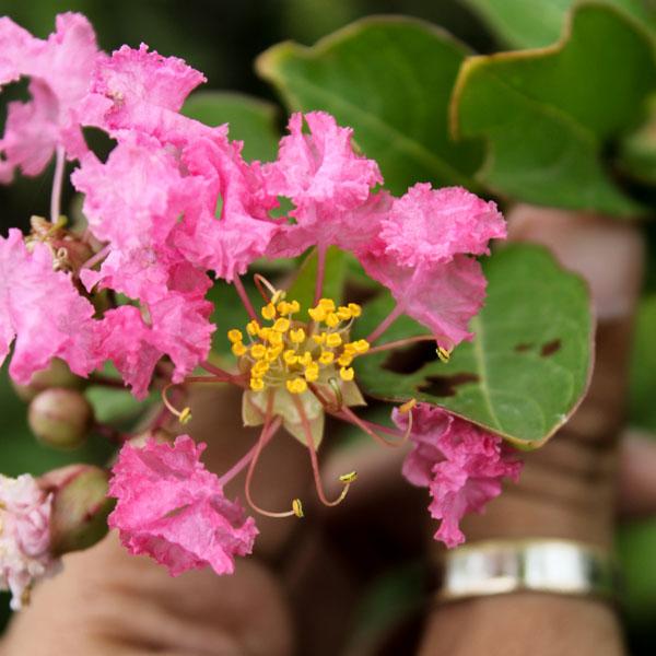 Buy Shell Pink Crape Myrtle - Lagerstroemia Plant - online - Nursery Nisarga