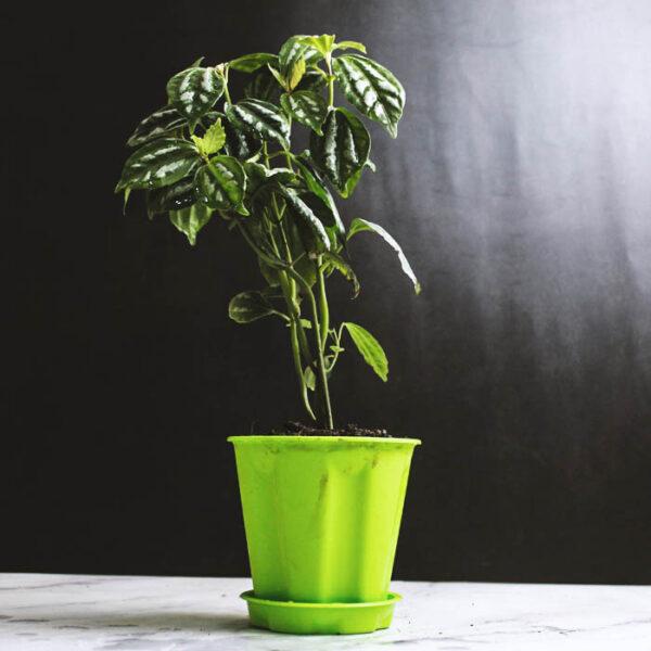 Buy Watermelon peperomia , Peperomia argyreia plant , online - Nursery Nisarga