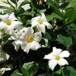 Buy White Mandevilla plant online at Nursery Nisarga