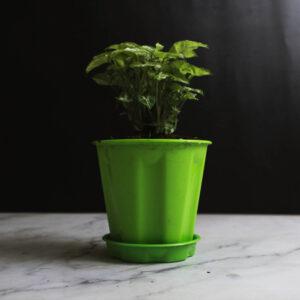 Buy Mini Syngonium , Mini pixie online - Nursery Nisarga
