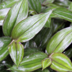 Buy Wandering Jew plant - online - Nursery Nisarga