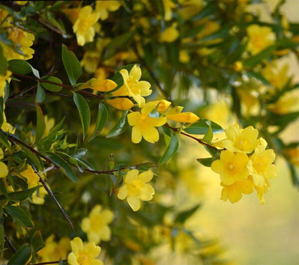 Buy yellow jasmine plant, yellow juhi online - Nursery Nisarga