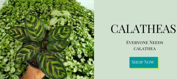 Best Calathea Plants on sale - Nursery Nisarga