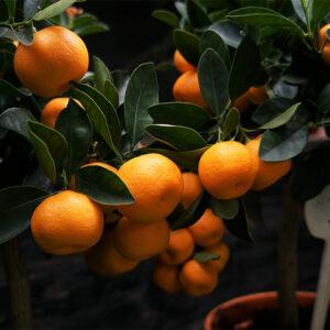 Chinese orange plant (airlayer) - Nursery Nisarga