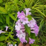 Buy Garlic Vine, Lehsun vel, Mansoa alliacea online at Nursery Nisarga