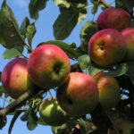 Grafted Apple Plant, Hot climate apple variety online -Nursery Nisarga