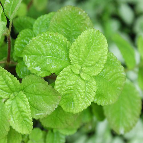 Buy Creeping Charlie, Pilea nummulariifolia - plant online - Nursery Nisarga