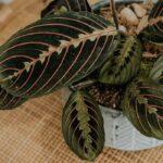 Buy Red Prayer plant, Marantha leuconeura - Nursery Nisarga