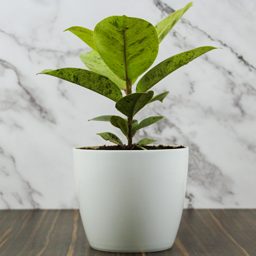 Buy Ficus Elastica Shrivereiana, variegated Rubber plant, the rubber fig - Nursery Nisarga