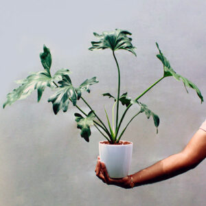 Buy Philodendron Selloum plant (giant size) online at Nursery Nisarga