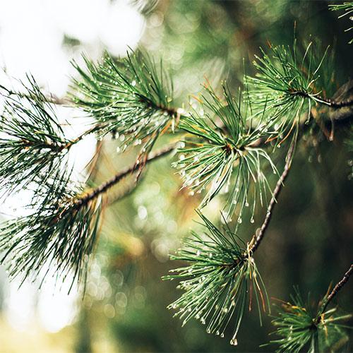 Buy Casuarina Equisetifolia, Australian Pine Tree - Nursery Nisarga