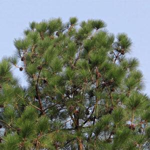 Buy Himalayan Pine, Pinus Wallichiana - Nursery Nisarga