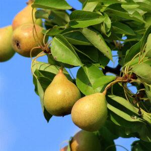 Buy pear plant online at Nursery Nisarga