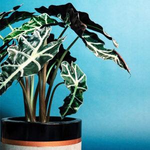 Buy Alocasia Polly Plant, Alocasia x amazonica 'Polly', Elephant Ear Plant - Nursery Nisarga