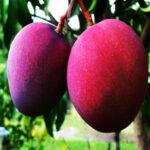 Buy Black Mango (Tommy Atkins) Plant - Nursery Nisarga