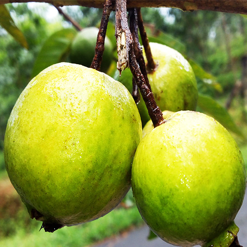 Buy Chinese Guava, Amrud Fruit Plant - Nursery Nisarga