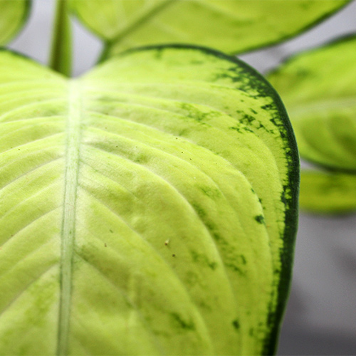 Buy Dieffenbachia Maculata - plant online - Nursery Nisarga