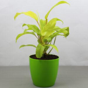 Buy Philodendron Lemon Lime (Ceylon Golden) Plant - Nursery Nisarga