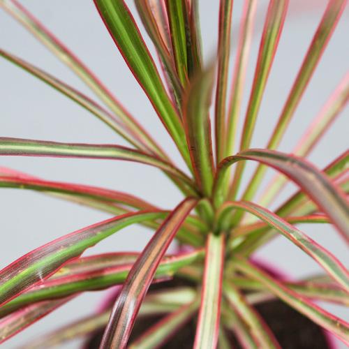 Buy Dracaena Colorama Plant - Nursery Nisarga