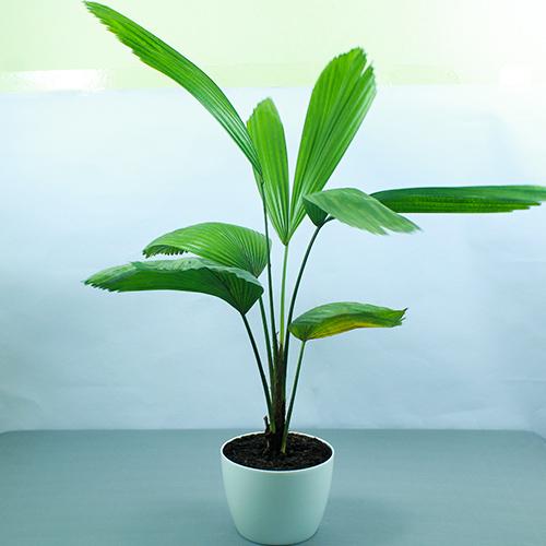 Buy Ruffled Fan Palm Plant - Nursery Nisarga