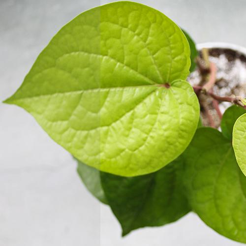 Buy Betel Leaf Plant (Paan) - Nursery Nisarga