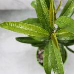 Buy Allspice (Pimenta dioica) - Nursery Nisarga