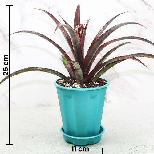 Cryptbergia 'Red Burst' Bromeliad online at Nursery Nisarga