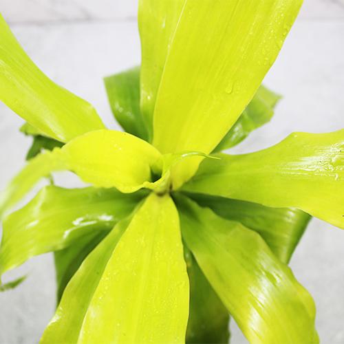 Buy Dracaena limelight Plant - Nursery Nisarga