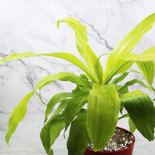 Buy Dracaena Golden Plant - Nursery Nisarga