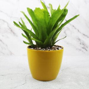 Buy Matchstick Bromeliad Plant- Nursery Nisarga