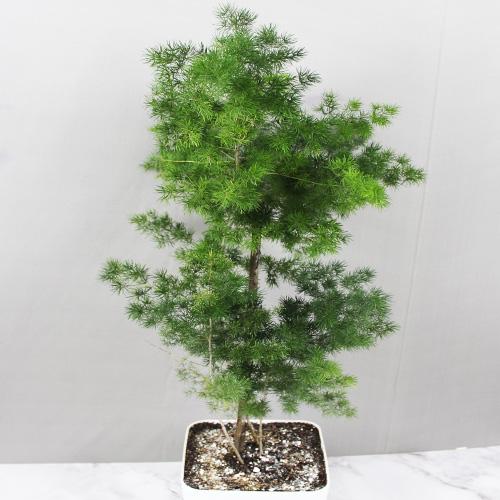 Buy Ming Fern, Asparagus Macowanii - Nursery Nisarga