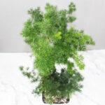Buy Ming Fern, Asparagus Macowanii- Nursery Nisarga