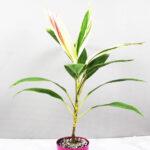 Buy Dracaena Baby Doll Plant - Nursery Nisarga
