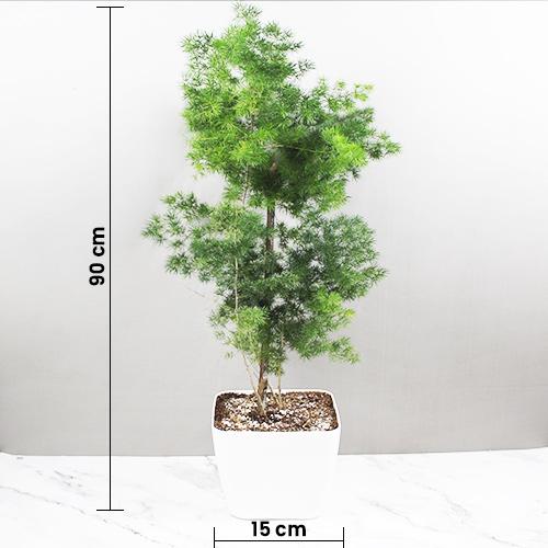 Buy Green Asparagus Racemosus - Nursery Nisarga
