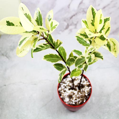 Buy Ficus Prestige Plant - Nursery Nisarga